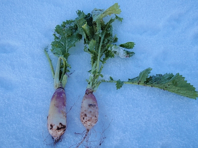 Turnips in the snow
