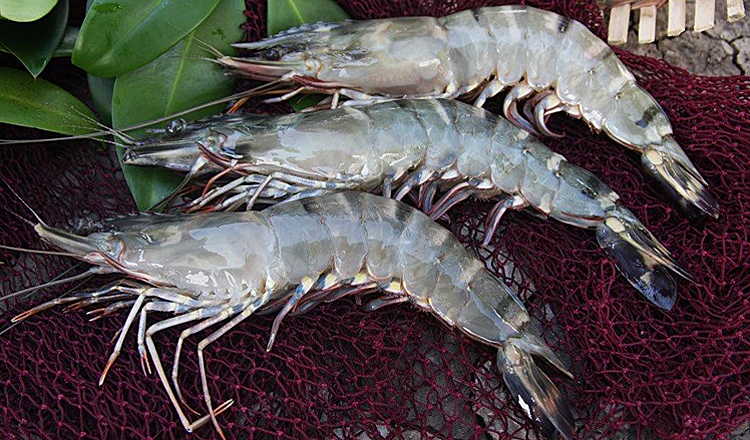 Sustainable Tiger Shrimp