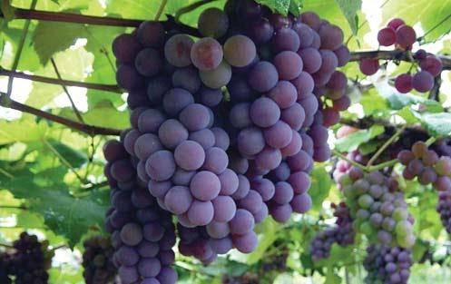 lacrima-grapes.jpg