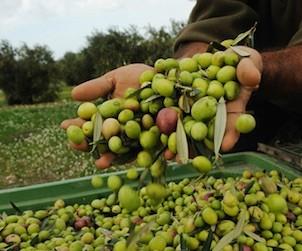 Planeta olives in Sicily