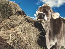 Asiago PDO Cows 614 x 251