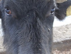Garofalo bufala head 302 511