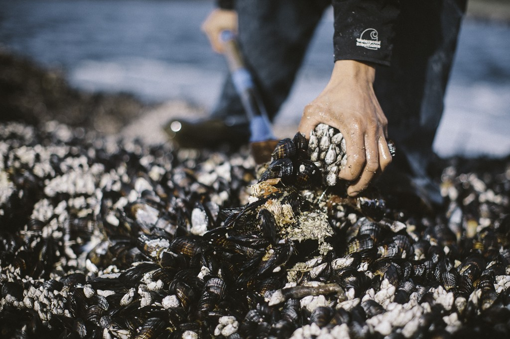 Gooseneck barnacles being wrested from their habitat -- note their attachment to mussels, which are easy to remove, as opposed to the rock directly. This is to ensure that the barnacles remain alive and intact. Photo Credit: Alex Gagne.