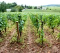 A Vineyard in Burguny