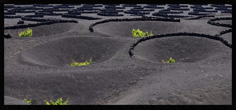 Canary Islands Vines
