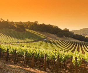 vineyards in sun 302