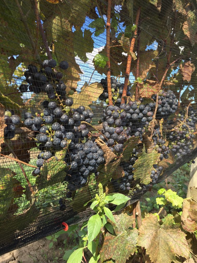 Petit Verdot awaiting the upcoming Harvest