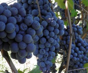 Pelaverga is so very rare that it was actually quite tricky to find anything like a decent picture of a bunch of Pelaverga grapes online.