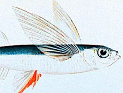 flying-fish-302