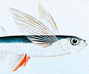 flying-fish-302