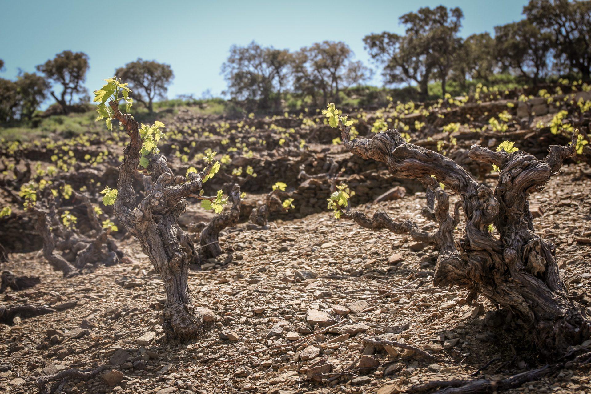 Old Vine Grenache in terraced vineyards of Banyuls (Photo by Stefan Schwytz)
