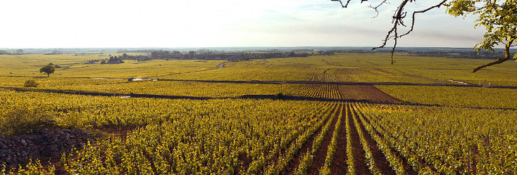 Looking over the gentle slopes of Chorey-Lès-Beaune, Bourgogne.