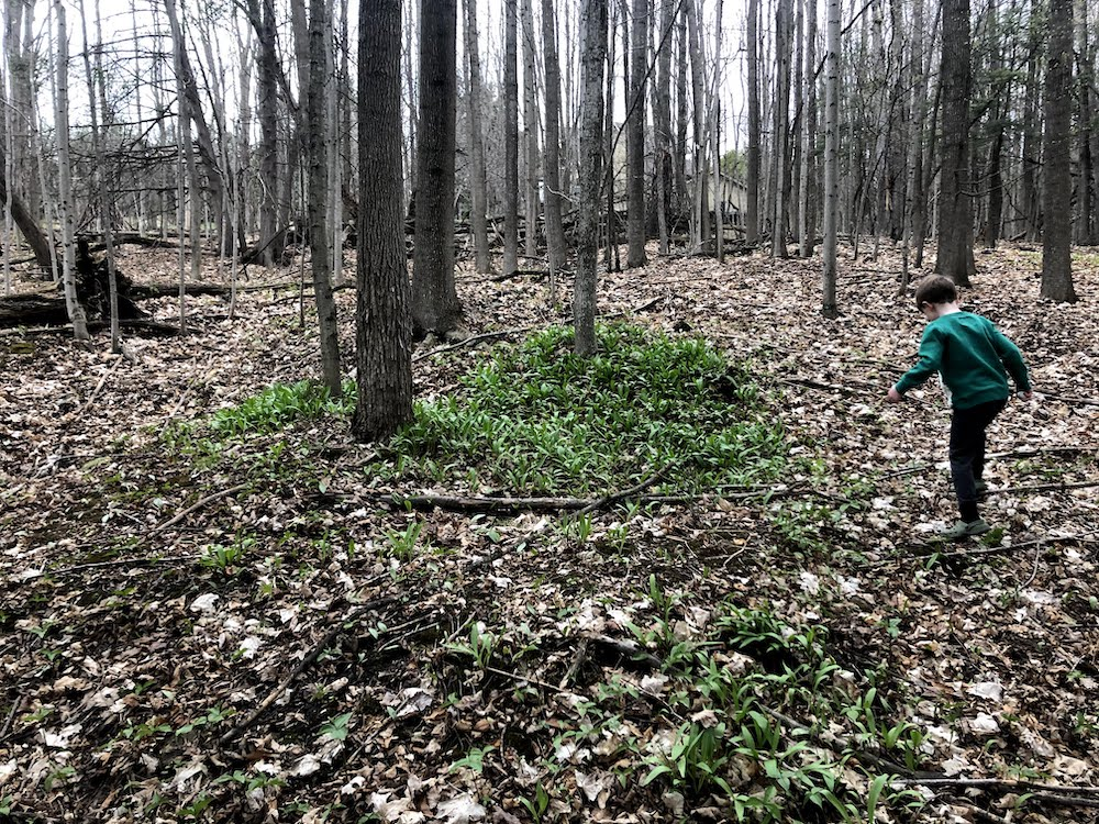 A very small patch of ramps early in the season at a hidden location, Ontario.